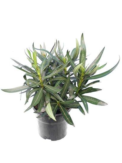 Nerium oleander Tricolor - totale hoogte 40-50 cm - pot Ø 18 cm