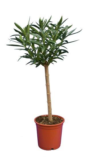 Nerium oleander deep pink - trunk 40-50 cm - total height 80-100 cm - pot Ø 22 cm