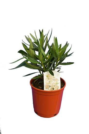Nerium oleander white - total height 50-60 cm - pot Ø 18 cm