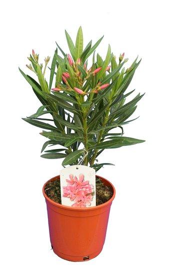 Nerium oleander pink - total height 50-60 cm - pot Ø 18 cm