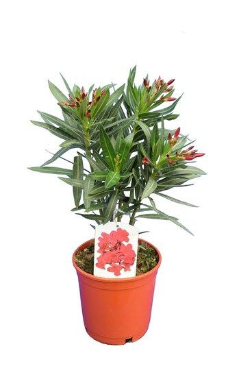 Nerium oleander deep pink - total height 50-60 cm - pot Ø 18 cm