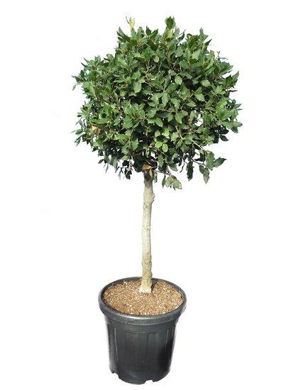 Quercus suber - trunk 60-80 cm - total height 120-140 cm - pot Ø 40 cm