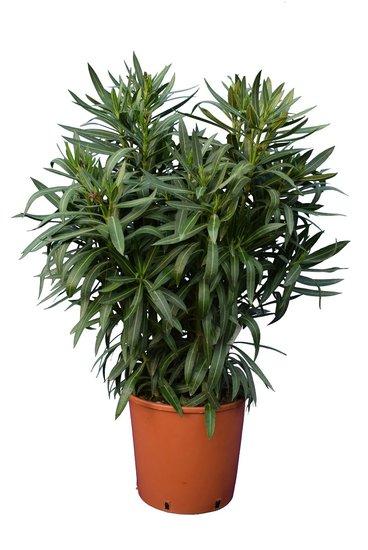 Nerium oleander white - total height 100-120 cm - pot Ø 30 cm