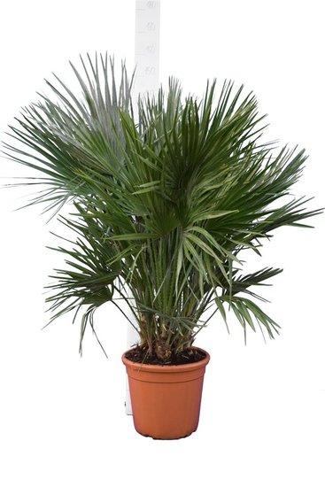 Chamaerops humilis - trunk 15-30 cm - total height 90-110 cm - pot Ø 40 cm [pallet]