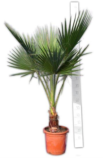 Washingtonia robusta - trunk 20-30 cm - total height 150-180 cm - pot Ø 32 cm