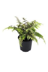 Athyrium niponicum Red Beauty 2 ltr