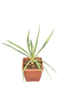 Yucca filamentosa Golden Sword P14