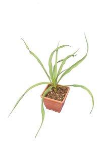 Yucca rupicola P14