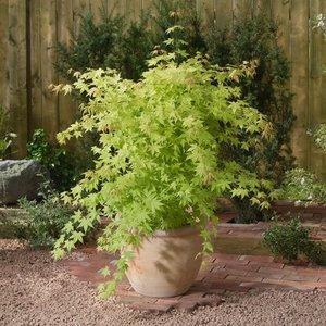 Acer Palmatum 'Summer Gold' - pot 3 Ltr - total height 60-80 cm