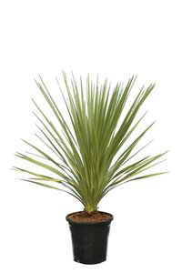 Cordyline australis total height 110-130 cm