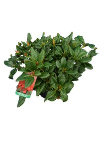 Rhododendron repens Scarlet Wonder 2 ltr