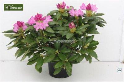 Rhododendron Roseum Elegans 5 ltr