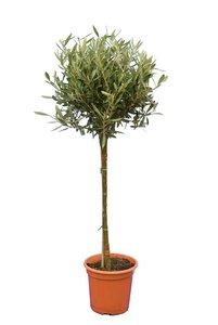 Olea europaea sphere form trunk height 60-80 cm trunk circumference 8-12 cm