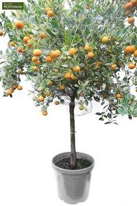 Citrus mitis Calamondine trunk 60-70 cm