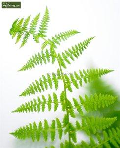 Athyrium filix-femina pot 2ltr.