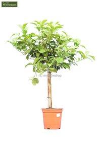 Citrus limon trunk 30-40 cm