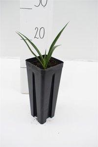 Yucca schidigera pot: 0.7ltr.