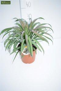 Yucca aloifolia Purpurea total height 30-40 cm