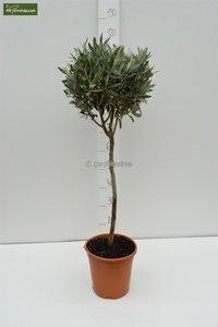 Olea europaea Sphere Form trunk 80-90 total height 140-160 cm