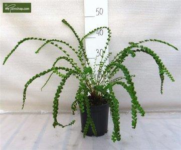 Athyrium filix-femina Frizelliae 1.7 ltr