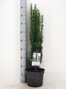 Taxus baccata Fastigiata Robusta 5 ltr