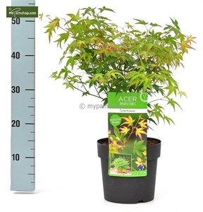 Acer palmatum Little Princess 3 ltr