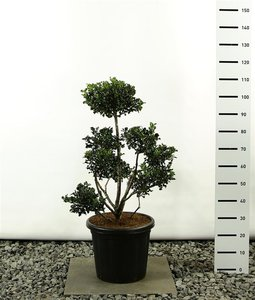 Ilex meserveae Blue Angel Multiplateau - total height 80-100 cm
