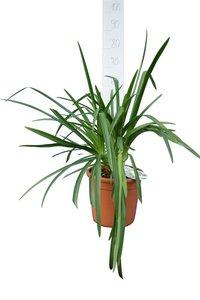 Agapanthus Lavender Haze pot Ø 25 cm