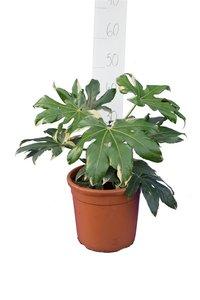 Fatsia japonica Variegata pot Ø 26 cm