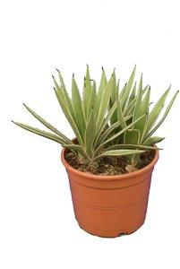 Agave angustifolia Variegata pot Ø 22 cm