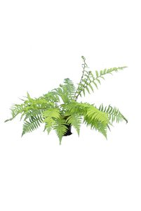 Athyrium filix-femina pot Ø 15 cm