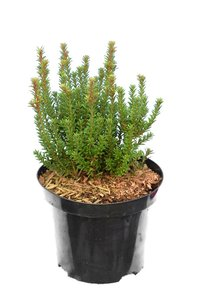 Podocarpus Chocolate Box 3 ltr