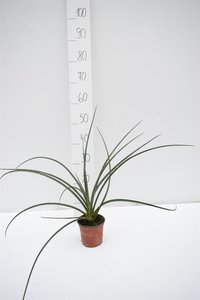 Hesperaloe parviflora Ø 12 cm pot