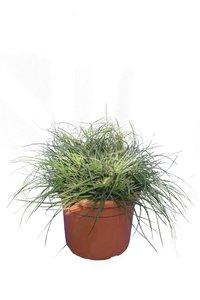 Fascicularia Bicolor Ø 22 cm pot