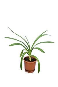 Agapanthus africanus White pot Ø 20 cm