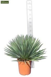 Yucca rostrata Ø 26 cm pot