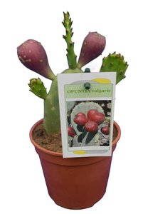 Opuntia vulgaris pot Ø 13 cm