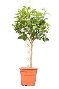 Citrus sinensis trunk 30-40cm