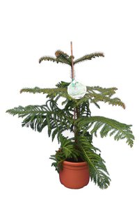 Araucaria heterophylla total height 80-100 cm