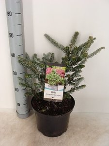 Abies koreana Silberlocke top Ø 23cm - 5 ltr