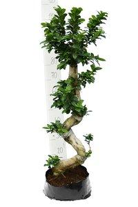 Ficus marcrocarpa Compacta Ginseng Ø 30 cm