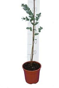 Eucalyptus gunnii Azura pot Ø 17 cm