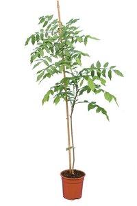 Millettia japonica pot Ø 17 cm