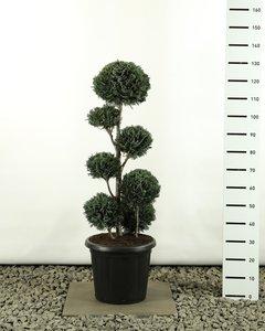 Chamaecyparis lawsonia Columnaris multiball extra total height 100-125 cm