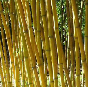 Phyllostachys aureosulcata Aureocaulis - total height 100-140 cm - 2 ltr pot