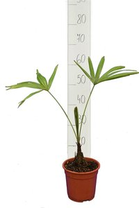 Trachycarpus latisectus - trunk 5-15 cm - total height 60-80 cm - pot Ø 17 cm