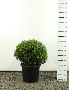 Prunus angustifolia ball Ø 60-80 cm