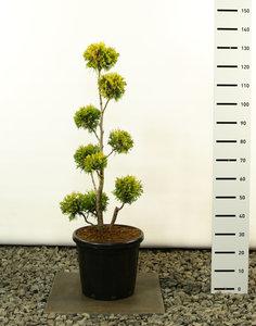 Thuja occidentalis Yellow Ribbon Multibol - total height 100-125 cm