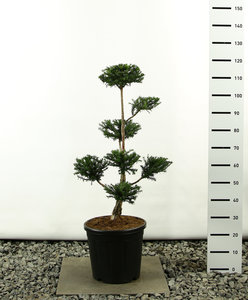 Taxus baccata Multiplateau - total height 80-100 cm