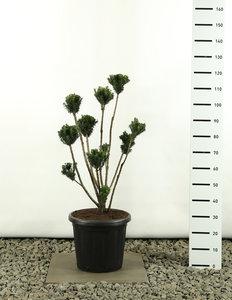 Taxus media Hillii Multibol - total height 100-125 cm